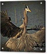 Fighting Great Blue Herons Acrylic Print