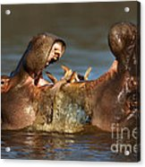 Fighting Hippo's Acrylic Print