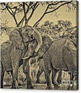 fighting male African elephants Acrylic Print