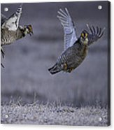 Fighting Prairie Chickens Acrylic Print by Thomas Young
