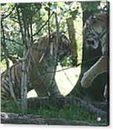 Fighting Siberian Tigers Acrylic Print