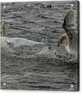 Fighting Swans Acrylic Print