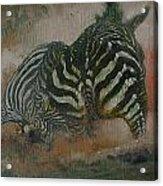 Fighting Zebras Acrylic Print