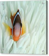 Fiji Anemone Fish (amphiprion Barberi Acrylic Print