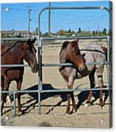 Fillies At The Gate Acrylic Print