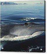 Fin Whale In Sea Of Cortez Acrylic Print