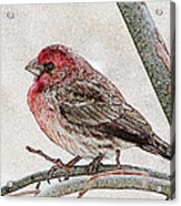 Finch Art Acrylic Print