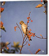 Finch In A Cherry Tree Acrylic Print
