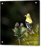 Finch In The Thistles Acrylic Print