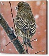 Finch On A Snowy Day Acrylic Print