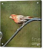 Finch On Guard I Acrylic Print