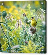 Find The Finch Acrylic Print