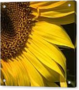 Find The Spider In The Sunflower Acrylic Print