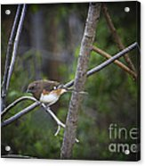 Finding A Mate Acrylic Print