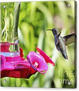 Fine Feathered Hummingbird Acrylic Print