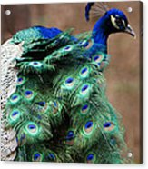 Finely Feathered Acrylic Print