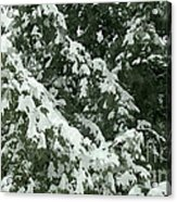 Fir Tree Branch Covered With Snow  Acrylic Print