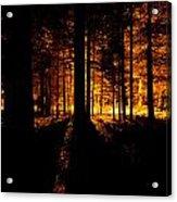 Fir Trees Back Lit  Acrylic Print