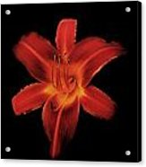 Fire Lily Acrylic Print