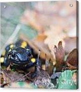 Fire Salamander Dry Leaves Acrylic Print