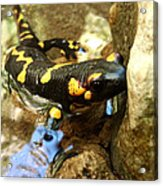 Fire Salamander  Acrylic Print by Lucy D
