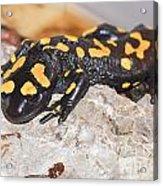 Fire Salamander Salamandra Salamandra Acrylic Print