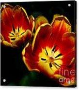 Fire Tulip Flowers Acrylic Print