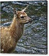 Firehole River Elk Fawn Acrylic Print