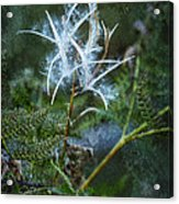 Fireweed Flame Out But Spreading Acrylic Print