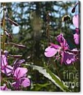 Fireweed Number 10  Acrylic Print