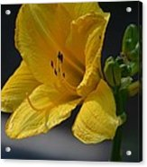 First Bloom - Lily Acrylic Print