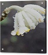 First Blossom Acrylic Print