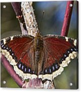 First Butterfly Of Spring Acrylic Print