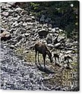 First Day Walking Acrylic Print