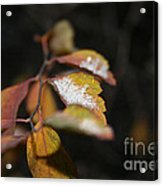 First Dusting Acrylic Print