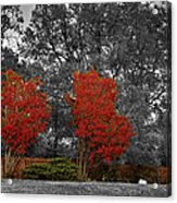 First Fall Color In Red Acrylic Print