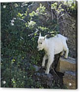 First Ledge Leap Acrylic Print