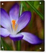 First Spring Crocus Acrylic Print