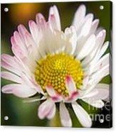 First Spring Daisy Acrylic Print