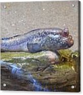 Fish Out Of Water Acrylic Print