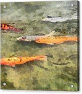 Fish - School Of Koi Acrylic Print by Susan Savad
