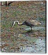 Fishing Blue Heron Acrylic Print