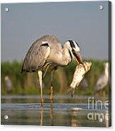Fishing Grey Heron Acrylic Print