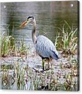 Fishing Heron  Acrylic Print
