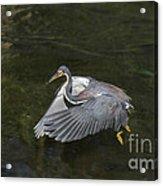 Fishing Tri Colored Heron Acrylic Print