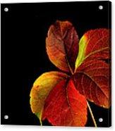 Five Leaves Acrylic Print