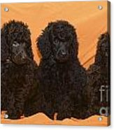 Five Poodle Puppies  Acrylic Print