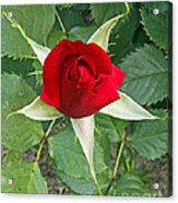 Five Star Red Rose Acrylic Print