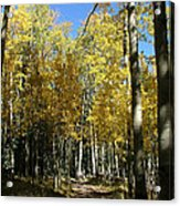Flagstaff Aspens 802 Acrylic Print
