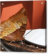 Flame-bordered Charaxes Butterfly #2 Acrylic Print